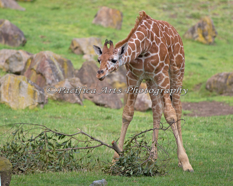 Reticulated Giraffe, Erin looks over her morning snack.  She's about 3 months old here.