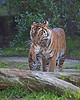 """""""Cub Transport Service""""  (Leanne & cub, Jillian - Sumatran Tigers)"""