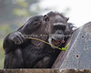 Chimpanzee, Maggie.  In goes the twig. Love the concentration - and the anticipation!