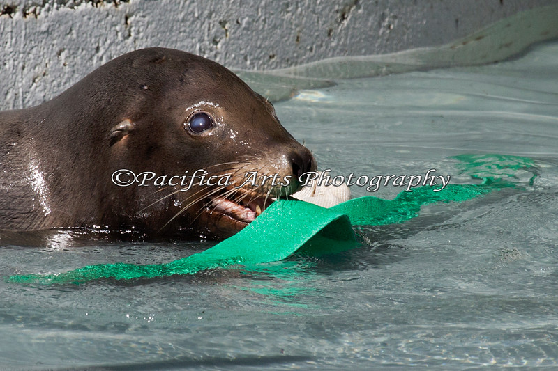 Henry, a California Sea Lion, finds a fun enrichment toy to play with in his pool.  For a sight-impared Sea Lion, I am amazed at how much fun he has in the pool.