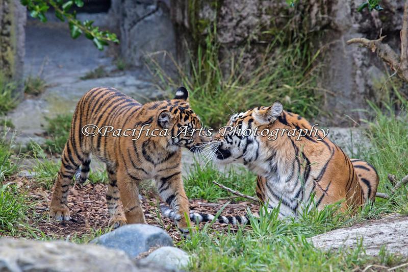 Lots of Whiskers!  (Sumatran Tigers, Jillian & Leanne)