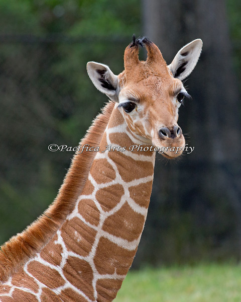 Erin, a 6 week old Reticulated Giraffe.