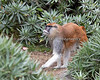 A male Patas Monkey walking around his yard.
