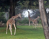 Giraffes on the African Savanna (l-r: Barbro, Bititi & Eve)