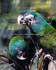 Blue-headed Macaws - these three are characters!
