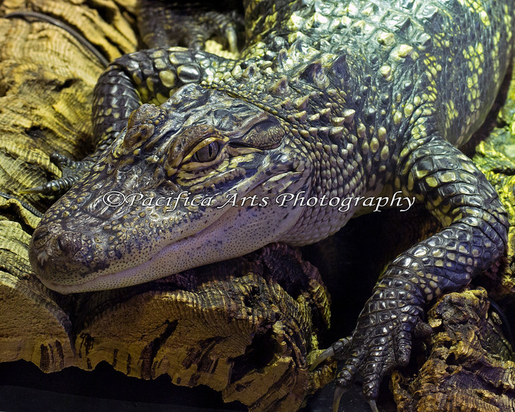 Miles is a large, baby American Alligator!