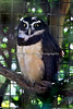 """Hoo hooo hoooo are you looking at?""   (Spectacled Owl)"