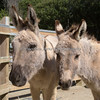 Domestic Donkeys - Nikos & Clint