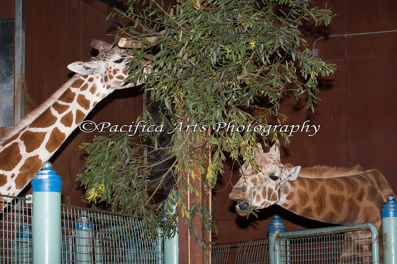 Reticulated Giraffes, female on left & male on right.
