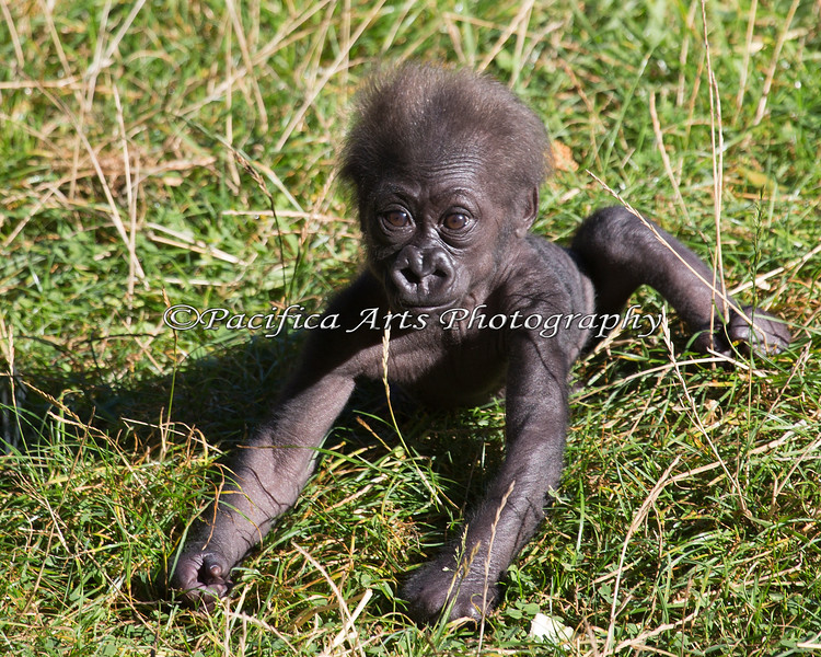 Here, at last, is the latest addition to the Gorilla family group:  a little female born on July 17, 2013.  She's a couple months old here, and is doing very well.  Nneka is her Mom, and Oscar Jonesy is her dad.