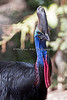 Double-wattled Cassowary, Slash