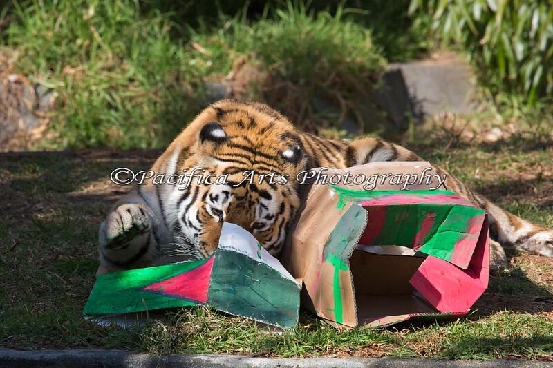 Martha doing a very thorough job of it. (Siberian Tiger)