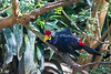 Lady Ross'sTuraco in the African Aviary