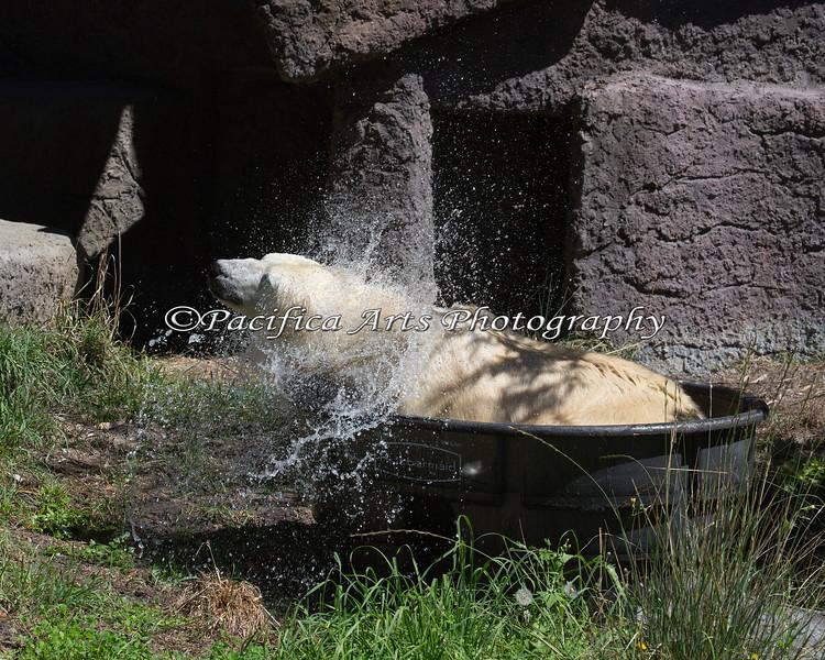 Just a little shake...(Uulu, a Polar Bear)