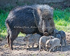 Chacoan Peccary mom and pups