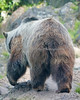 Grizzly Bear (SFZoo)