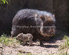 Little Chacoan Peccary baby finds that grass tastes pretty good!