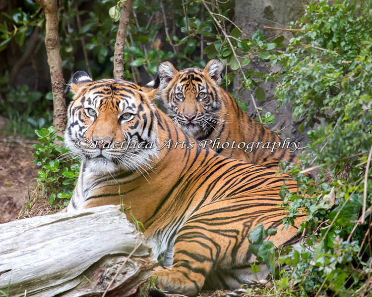 Mom & Cub Portrait of Leanne & Jillian.  (Sumatran Tigers)
