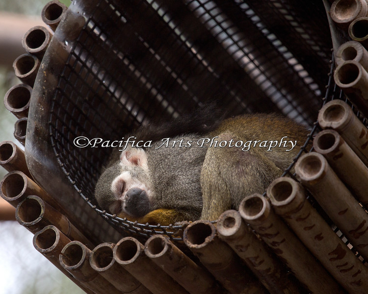 Squirrel Monkey in dreamyland