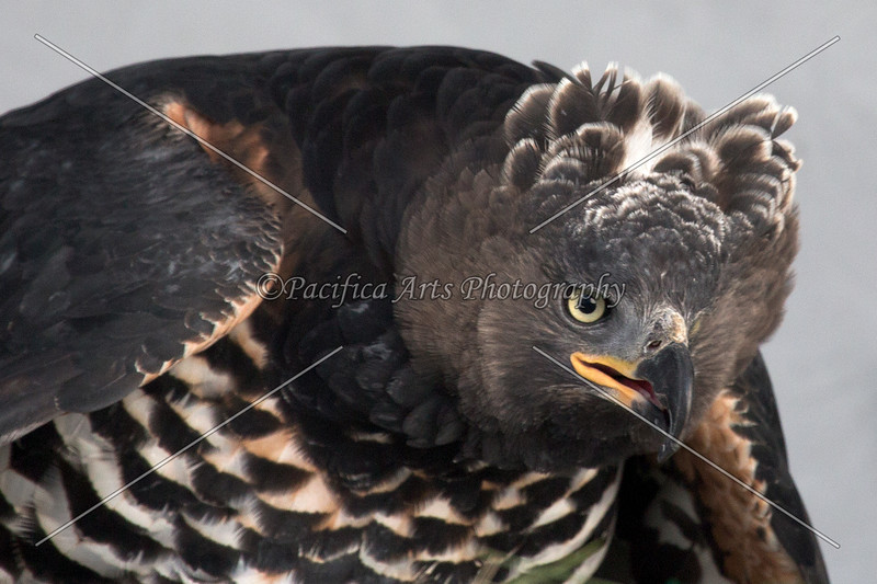 The female African Crowned Eagle, with her crown up.