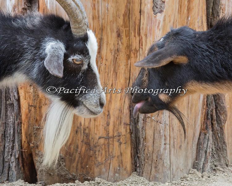 Nigerian Dwarf Goats - Paprika (left) & Poppy (right).