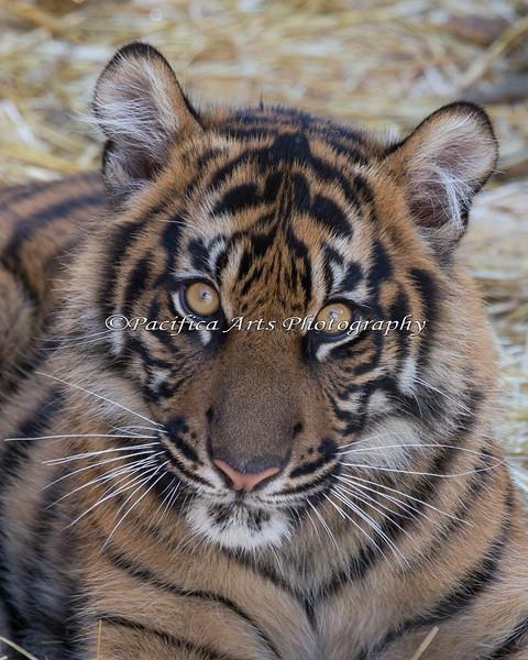 Jillian, a 7 month old Sumatran Tiger cub.