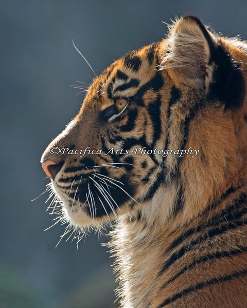 Sumatran Tiger cub profile - Jillian