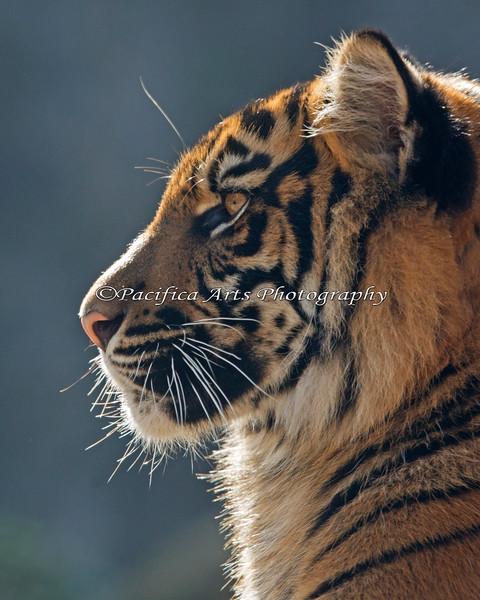 Sumatran Tiger cub profile - Jillian
