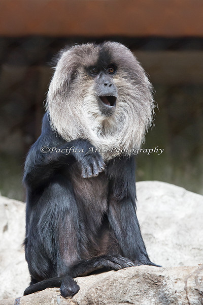 Lion-tailed Macaque.  I'm pretty sure this is the female.