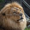 Head study of Jahari (African Lion)
