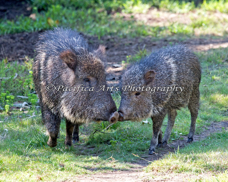 """""""Nose to Nose""""  (Chacoan Peccaries)  Brennan (the smaller one) is about 4 months old now."""