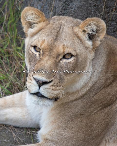 Close-up of African Lioness, Sukari