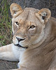 Close-up of African Lioness, Sukari