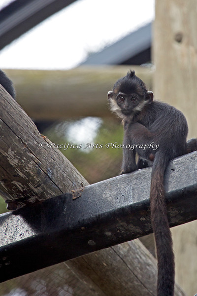 Francois' Langur - Romo - almost 6 months old here.  There's just a tinge of red left in her coat