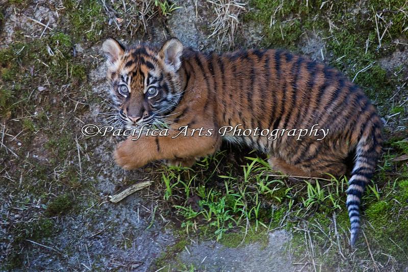 Little Cub's first day outside. (Sumatran Tiger, Jillian)