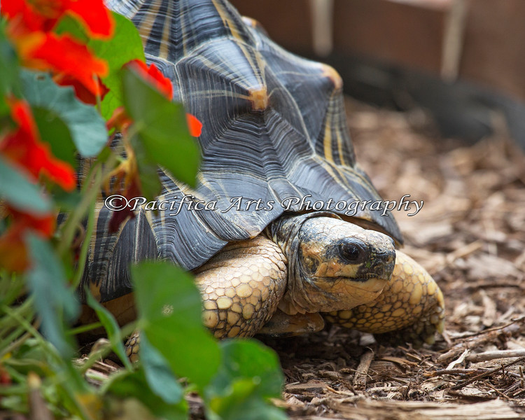 Here's Tim, a Radiated Tortoise on the Nature Trail