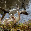 American White Pelicans - now a threesome at the Billabong!