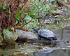 Western Pond Turtle(?) at the Billabong.  (awaiting conformation)