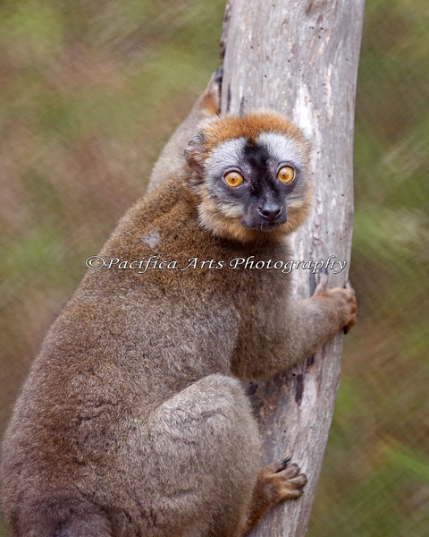 Here is the newest Lemur on the Block!  This is known as a Red Fronted Lemur.