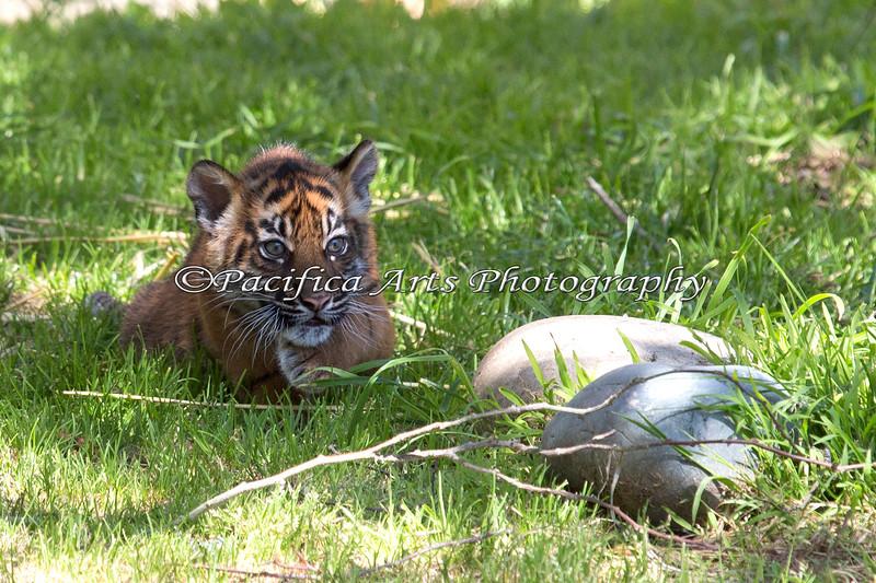 Tiger in the Grass - portrait (Sumatran Tiger cub, Jillian)