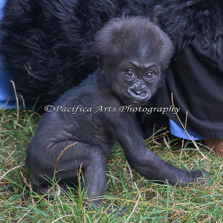 Now there's a smirk for ya!  (3 month old female Western Lowland Gorilla)