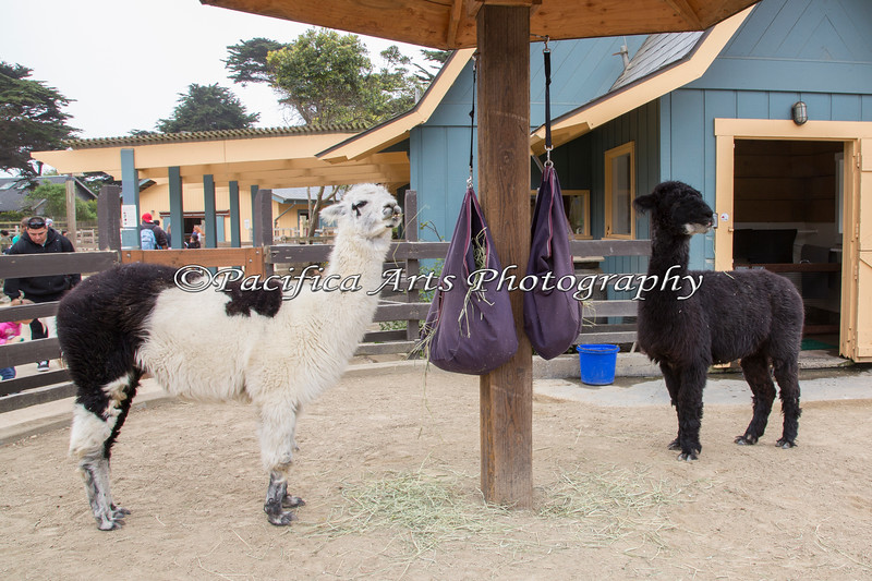 Alpacas - Gandalf & Merlin