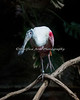 An elegant Roseate Spoonbill