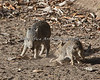 Chacoan Peccary pups playing in the yard.