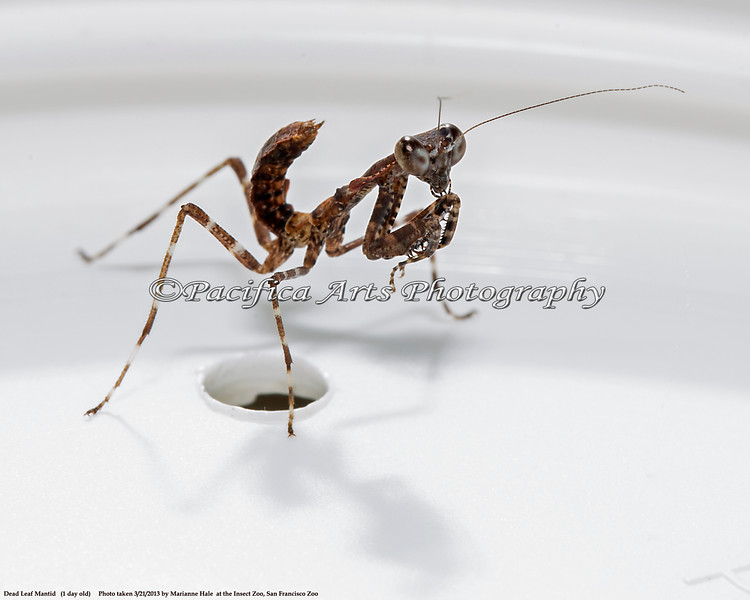 """Dead Leaf Mantid baby.  This little one is just one day old.  It was sitting on a jar lid, and the Mantid is about 1/4"""" long.  When they grow up, they will be brown, and resemble a dead leaf for camouflage.  Admit it - he's cute!  (Thanks to the Insect Zoo for letting me photograph this baby, and for the loan of their tripod!)"""