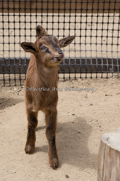 """One of the new """"kids"""" on the block! (San Clemente Island Goat)"""