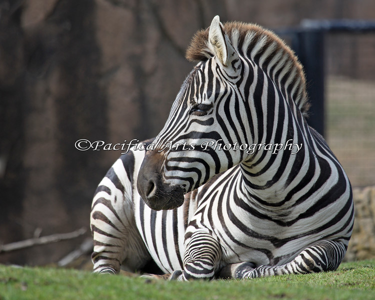 Grant's Zebra, dozing in the San Francisco sun.