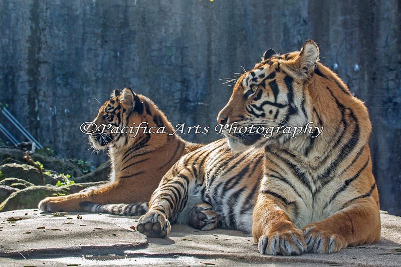 Sumatran Tigers, Jillian & Leanne