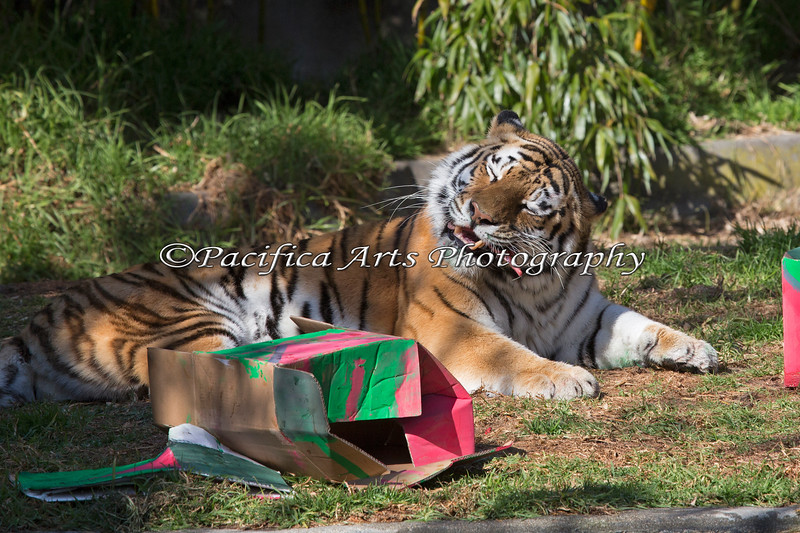 Martha went through almost all of the boxes, and found lots of tasty things inside. (Siberian Tiger)