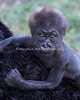 Baby Gorilla girl can hang on really well!